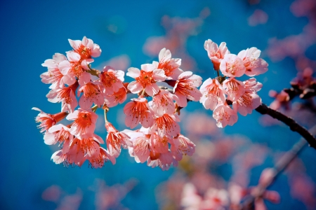 cheery: Cheery blossom in Thailand Stock Photo