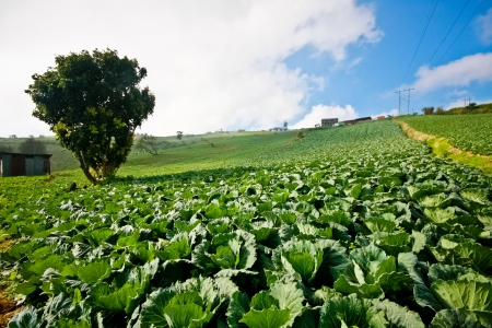 Cabbage plantation with blue sky in Petchaboon, Thailand