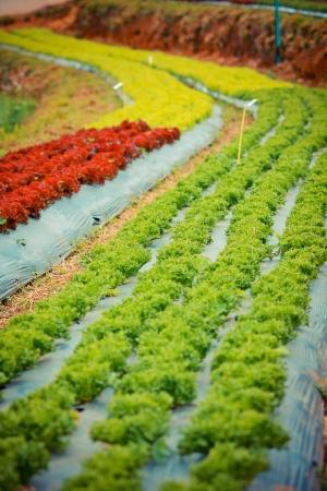 chaingmai: vegetable garden in Chaingmai