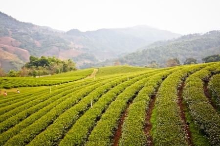 Tea plantation in Chaingrai, Thailand Stock Photo - 19140326