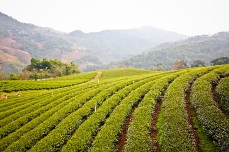 Tea plantation in Chaingrai, Thailand Stock Photo - 19140326