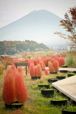 Red Bassia scoparia and Fuji mountain in autumn, Japan photo