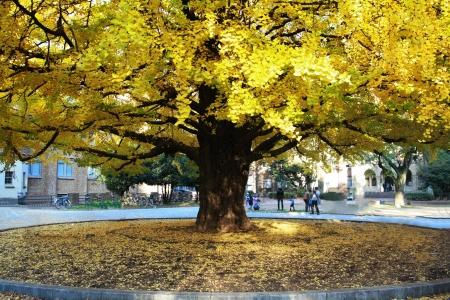 秋、日本で大きな銀杏の木