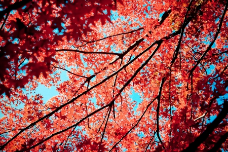 Red maples in autumn at Mt Takao located nearby Tokyo, Japan