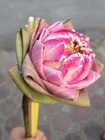 merit: Pink lotus for making merit at Buddhism temple in Thailand