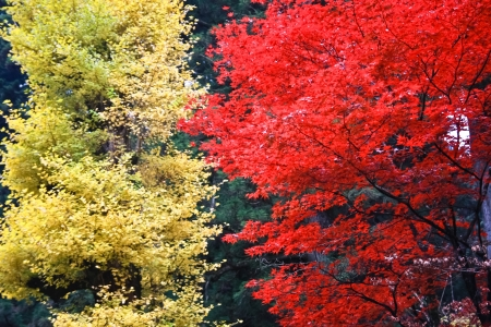 Autumn leaves  Red maple  at Nikko, Japan photo