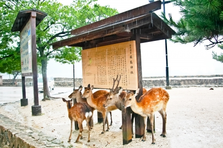 Group of deers hide the rain under the roof at Miyajima, Hiroshima, Japan Stock Photo - 20844527
