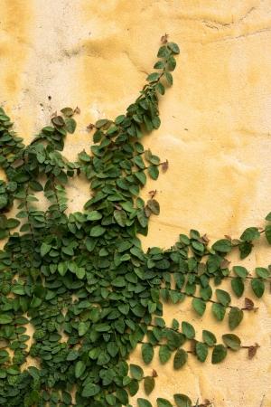 The Green creeper plant on a yellow wa photo