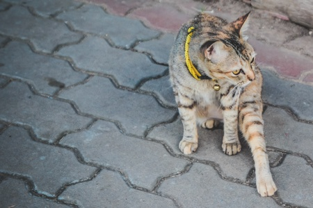 true bred: Inattentive local Thai cat is sitting on the floor