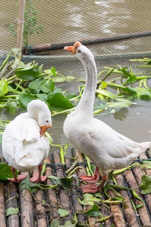 White goose in the local farm in Thailand photo