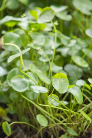 Centella asiatica, is a hydro-plant growing nearby the river use as tradditional Thai herbal tree photo