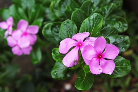looked: Pink Periwinkle flowers  looked freshening Stock Photo