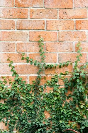 Brick wall with the climbing tree photo