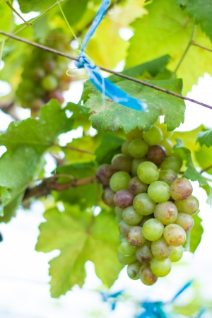 Grapes in winery yard in Thailand photo