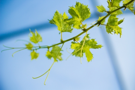 Grape leave in winery yards on blue sky  photo
