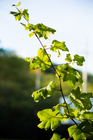 Grape leave in winery yards photo