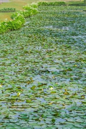 Lotus leaves on the pond photo