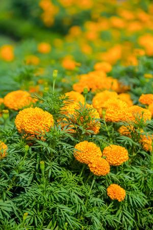 tagetes: Marigolds  Tagetes erecta, Mexican marigold, Aztec marigold, African marigold flower Stock Photo