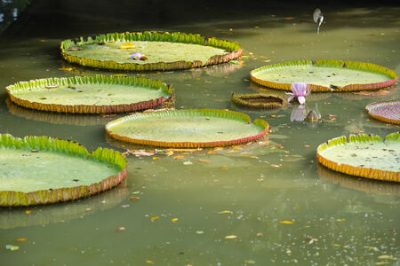 Giant Water Lily in the canal at the Rama 9 Royal garden in Bangkok, Thailand  The biggest park in Thailand photo
