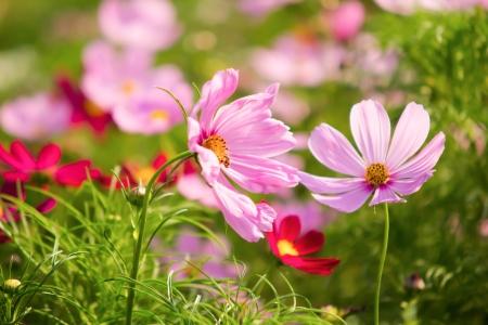 Cosmos flowers in the Rama 9 garden in Bangkok, Thailand photo