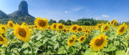 Panoramic view of sun flower field and mountain in Lopburi province, Thailand photo