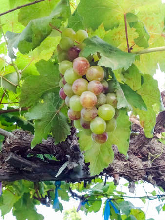 Grape in the winery yard in Thailand photo