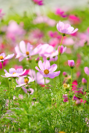 Cosmos flowers in the Rama 9 garden in Bangkok, Thailand photo