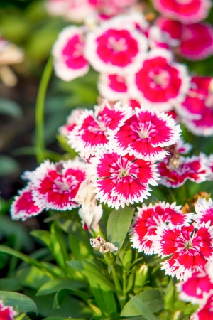 dianthus: China Pink , Dianthus chinensis L  flower