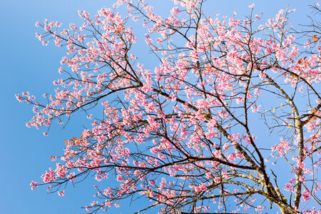 pith: Thai sakura in winter season at Inthanon national park, Chaingmai, Thailand