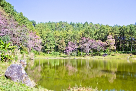 Forest and lake during Thai sakura blooming in Inthanon national park,Chaingmai Thailand photo