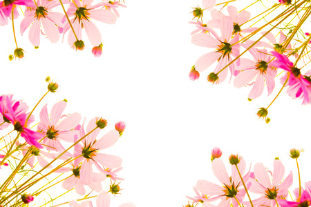 Pink cosmos flowers fram on white photo
