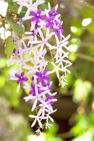 petrea volubilis: Queen s wreath vine flower  purple wreath flower,sandpaper vine flower,Petrea volubilis  Linn   Stock Photo