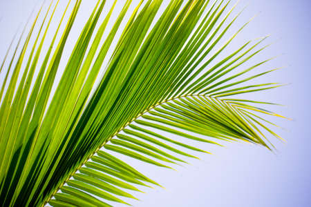 Coconut frond against blue sky photo