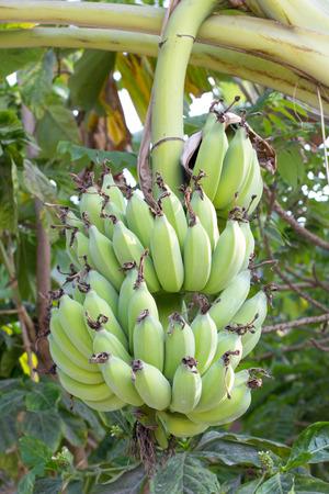 Banana bunch on tree in the garden,Thailand photo