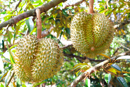 Fresh durian fruits on tree  King of fruit in Thailand  photo