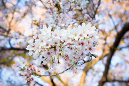 Sukura blossom in Japan photo