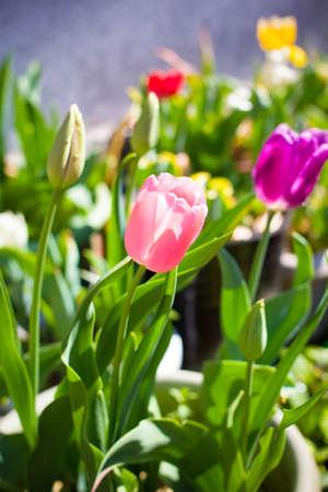 Colorful tulip photo