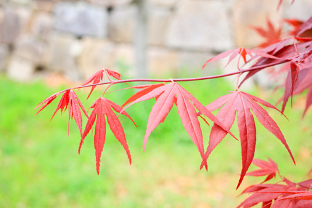 Red maple leaves in Osaka, Japan photo