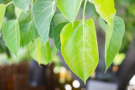 gaya: Green Peepal or bodhi leave from the bodhi tree Stock Photo