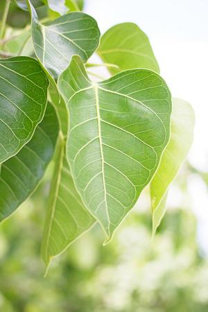 peepal tree: Green Peepal or bodhi leave from the bodhi tree Stock Photo