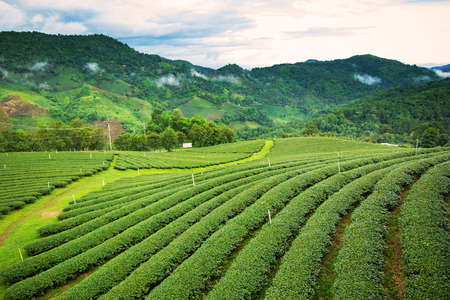 Natural landscape of tea plantation on the mountain in Chiangrai province, Thailand photo
