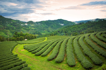 Natural landscape of tea plantation on the mountain in Chiangrai province, Thailand