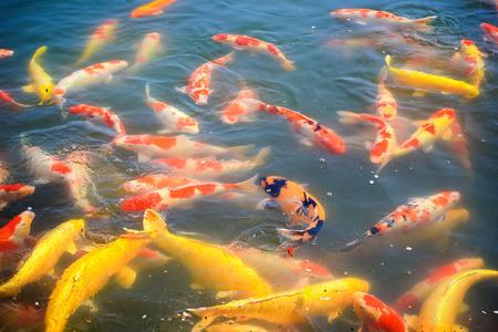 Koi Carps Fish Japanese swimming  Cyprinus carpio  in Kokuraen garden, Okayama, Japan photo