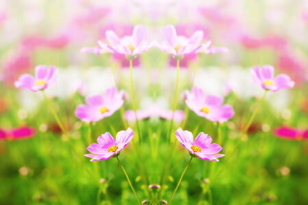 Cosmos daisy flower for background photo