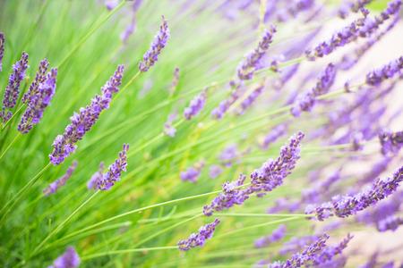 Lavender flowers bloom summer time in Tokyo, Japan