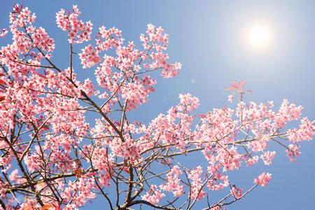 Spring cherry blossom background  photo