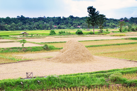 Thai rice field in the countryside of Nan province in Thailand photo
