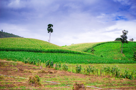 Natural landscape of corn field and rice field on mountain against blue sky photo