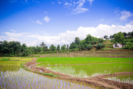 Natural Thai rice field in Chiangmai, Thailand photo