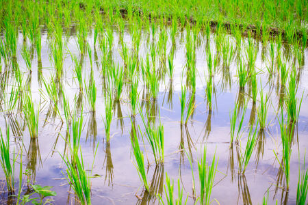 terraced field: Natural Thai rice field and water inside at Chiangmai, Thailand